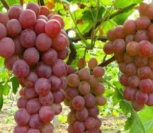 葡萄种植技术视频指导