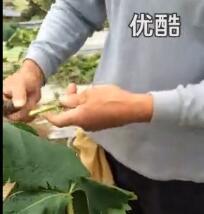 葡萄绿枝嫁接技术