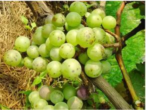 葡萄常见病虫害防治知识
