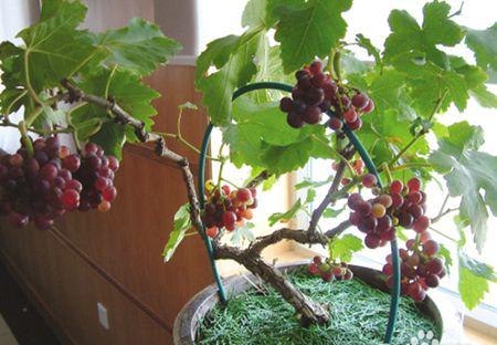 盆栽葡萄种植技术