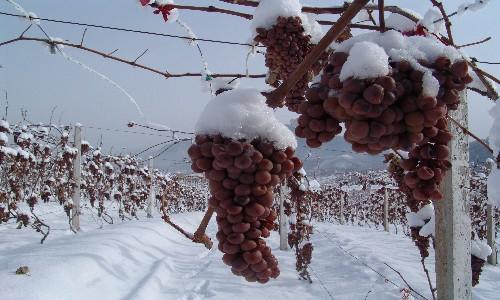 冰葡萄栽培技术与方法