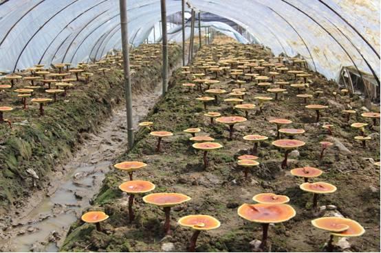 如何进行食用菌育种