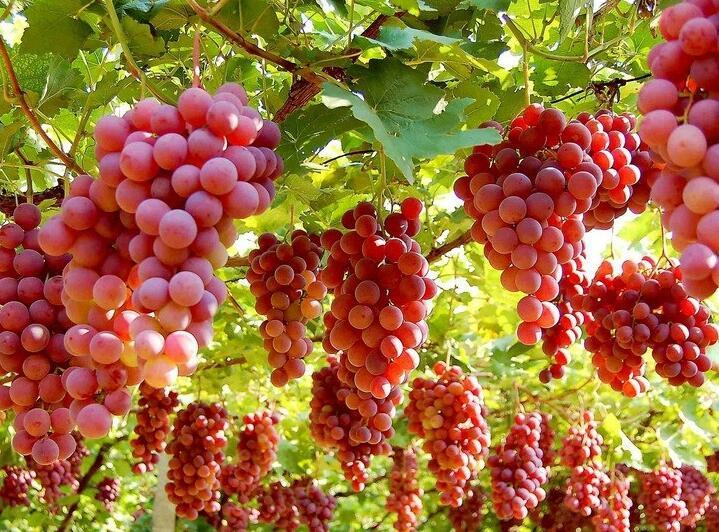 红提葡萄主干枯死原因