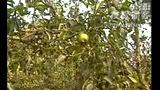 梨树病虫害防治 (6播放)