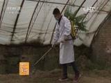 [农广天地]青线椒1号种植技术