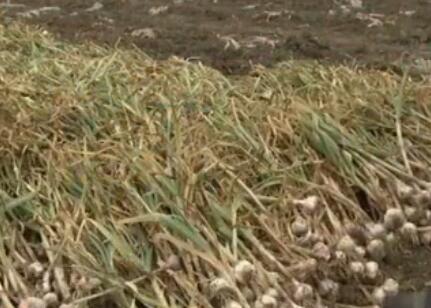 蒜种贮藏保鲜/有机无机复混肥生产与使用