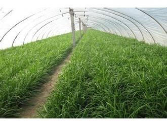 大棚韭菜高产种植技术