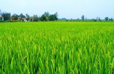 硅肥的历史及在水稻上的作用